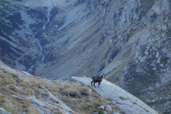 Vanoise. 2 000 mètres. Mouflon