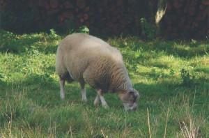 tondeuse mouton