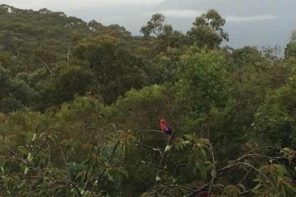 Blue mountains. rosella