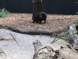 australie. diable de tasmanie