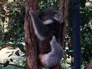 australie.koala