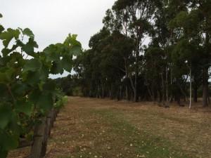 flutes. Vigne. Forêt