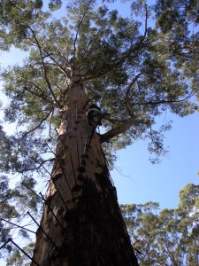 karri. Eucalyptus. Australie