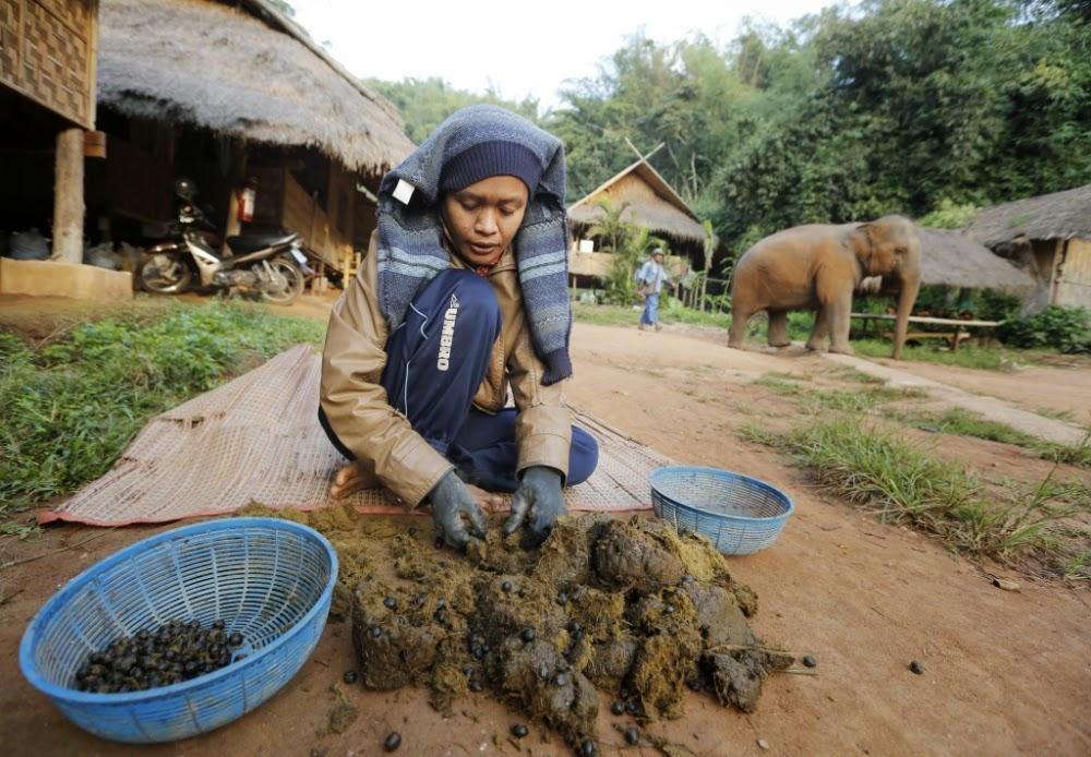 café dans excréments éléphants.