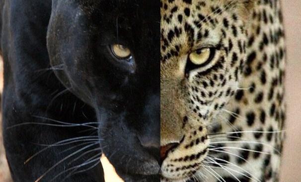 Leopard Invitation with nice invitation sample