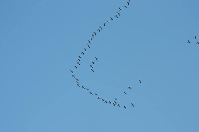 migration-grues-cendrées
