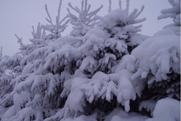nordmann sous la neige