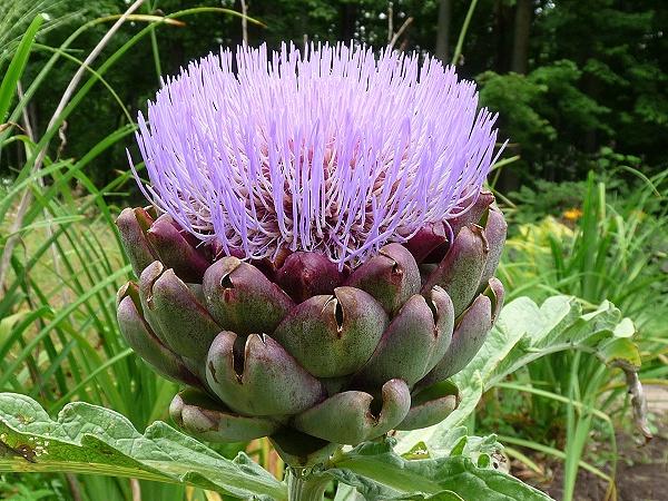 fleur arttichaut.