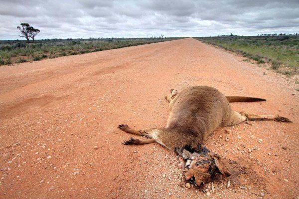 Kangourous morts sur la route.