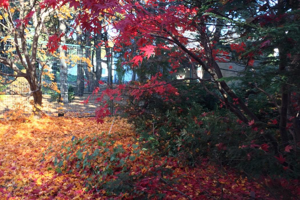 Montr al l automne au jardin botanique la femme qui marche for Botanique jardin montreal