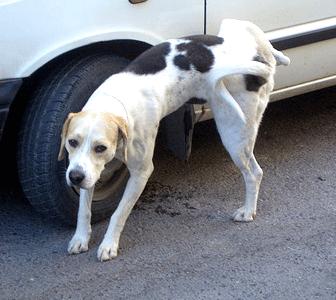 chien qui pisse sur un pneu.
