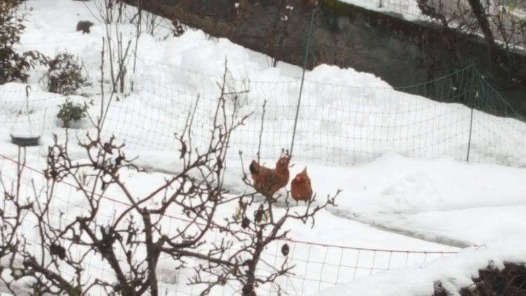 Poules de loin dans la neige. La Femme Qui Marche.