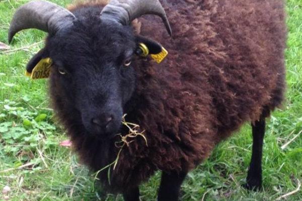 mouton pour tondre