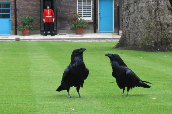 les corbeaux de la tour de londres volent.