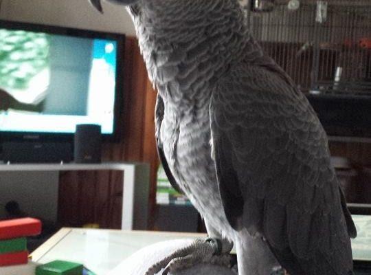 perroquet du gabon.