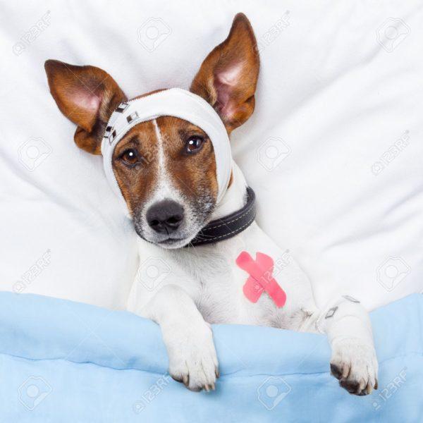 13264805-chien-malade-avec-des-bandages-Banque-d'images