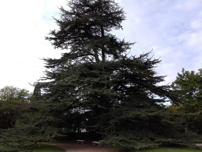 La Malmaison. Cèdre planté par Joséphine et Napoléon. La Femme Qui Marche.