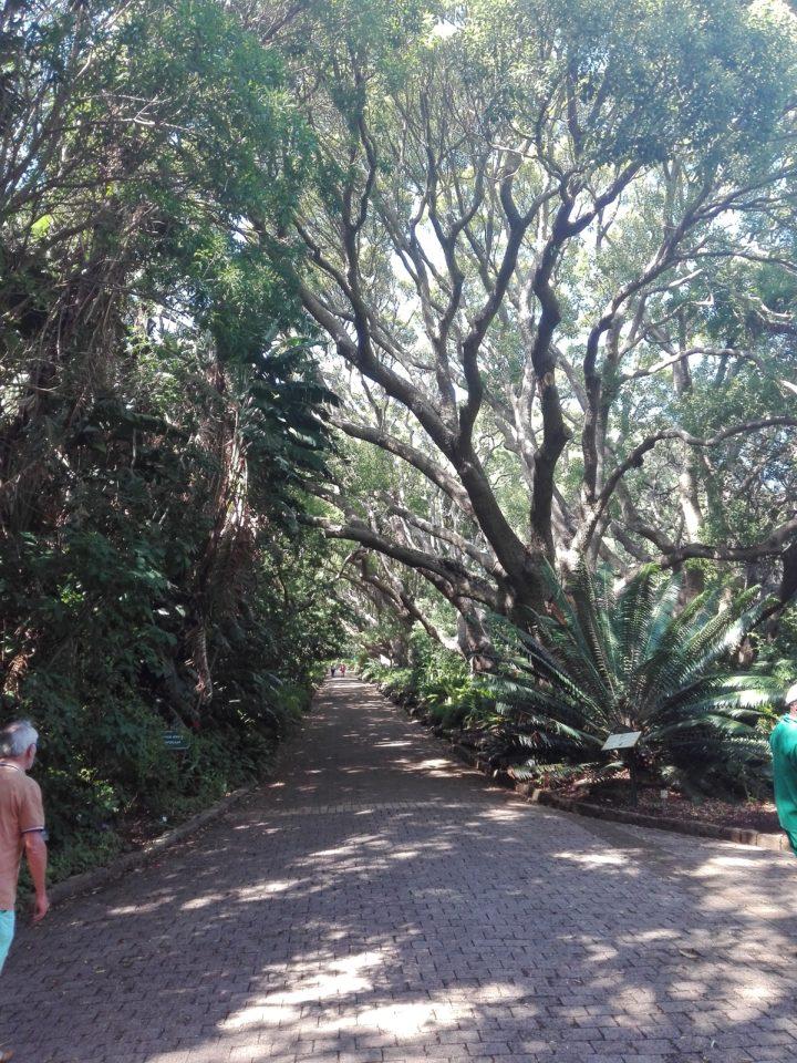 Le Cap. Kirstenbosch Garden. Allée