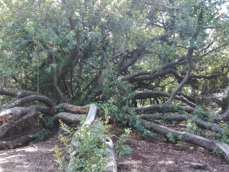 Le Cap. Kirstenbosch.