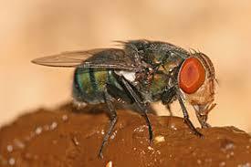 Chrysomya megacephala : comment la mouche transpire.