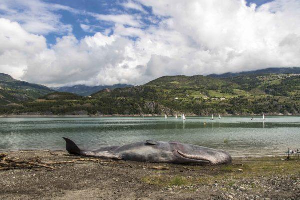lac de serre-ponçon. savines. un cachalot retrouvé mort.