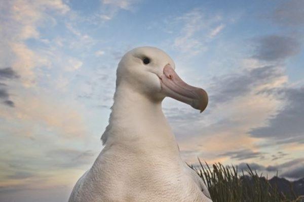 l'albatros tristan de cunha menacé par des souris.