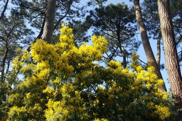 mimosa. nature et découvertes. pyla sur mer. bassin d'arcachon