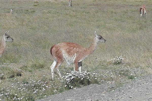 le guanaco. les Andes. chili. argentine