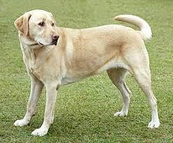 le labrador et le chat européen sont les plus fugueurs.