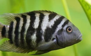 cichlidé zébré : un poisson capable d'éprouver un chagrin d'amour ?
