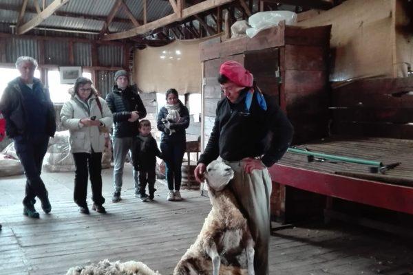 moutons : championnat du monde de tonte au dorat en haute-vienne.