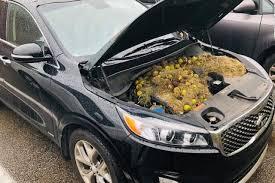 les écureuils mettent leur nourriture à l'abri sous les capots des voitures.
