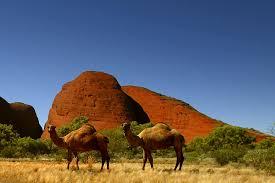 incendie en australie. 10 000 dromadaires sauvages abattus.