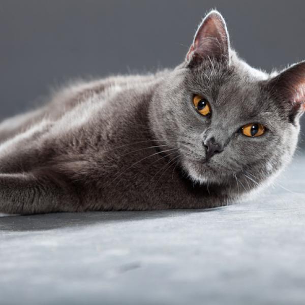 chat gris sur liste municipale de la France insoumise