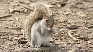 méfiez vous des écureuils à new york. ils attaquent les promeneurs.