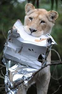 Noël. cadeau lionne. Zoo de la Flèche.