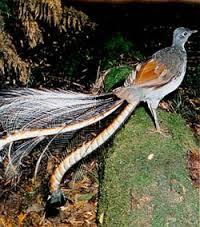 blue moutains. oiseau lyre
