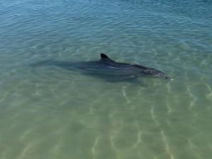 dauphin. Shark Bay Australie