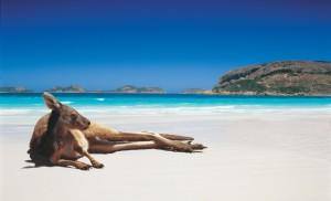 kangourou sur la plage.
