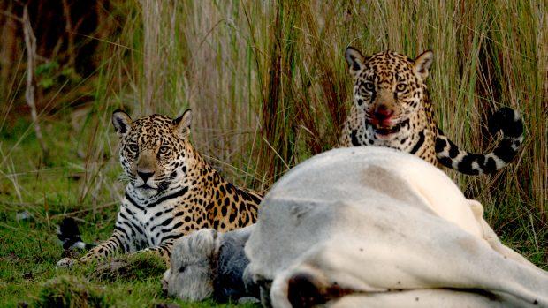 JaguarVsCroc_33