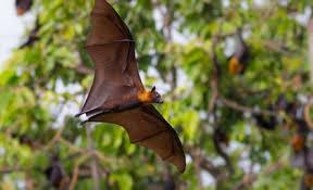 épidémie : risques sanitaires de la roussette, une grande chauve-souris en nouvelle-calédonie ?