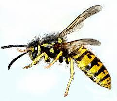 la guêpe, un insecte mal aimé ?