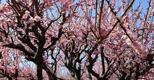 admirez les pruniers et les cerisiers en fleur au japon dans la region de setouchi.
