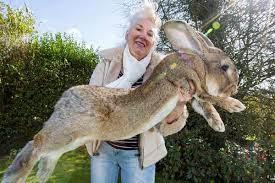 récompense pour retrouver darius, le plus grand lapin du monde.